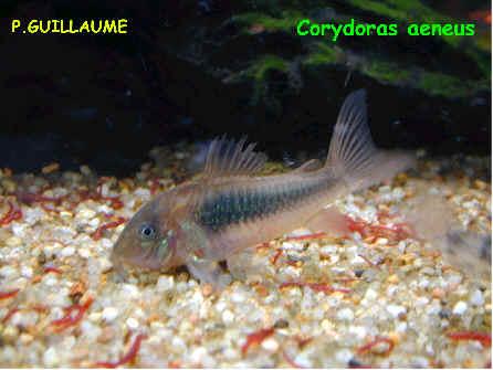 reproduction du corydoras 224 l